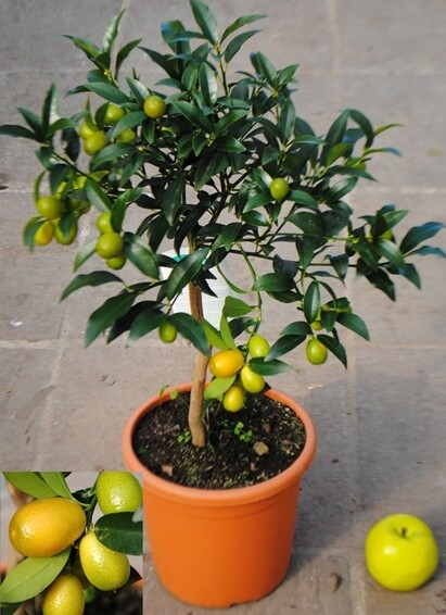 Kumquat-  Mandarino Cinese v23