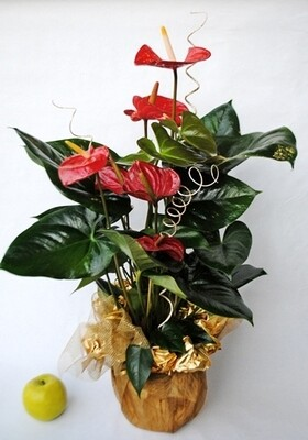ANTHURIUM v17  - CONFEZ. REGALO
