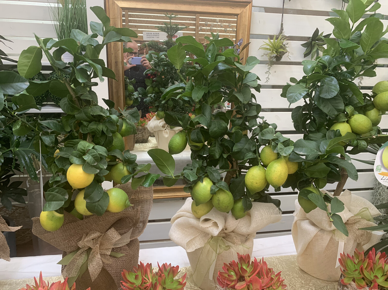 IDEA NATALE Limone