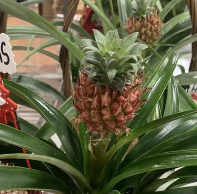 Ananas Corona vaso 12 cm