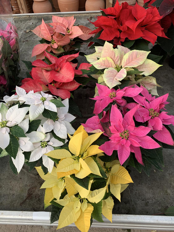 Stella Di Natale- Poinsettia