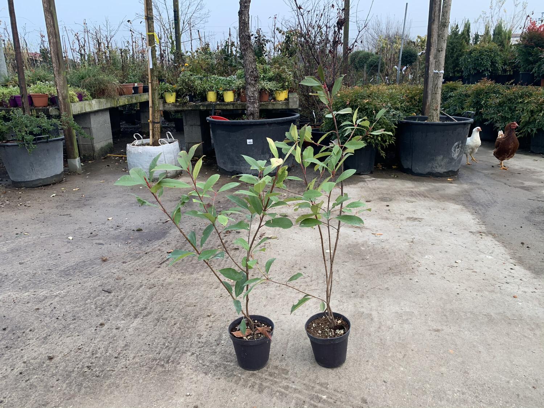 Photinia siepe vaso 14cm Fotinia h 40/45
