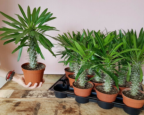 PACHYPODIUM LAMEREII Palma del Madagascar