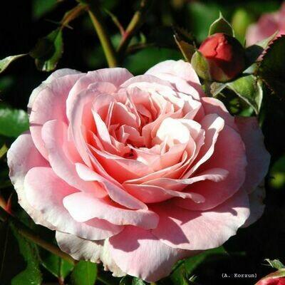 Rosa Rose - Paesaggistiche - Meilland Botticelli® - Vaso 18