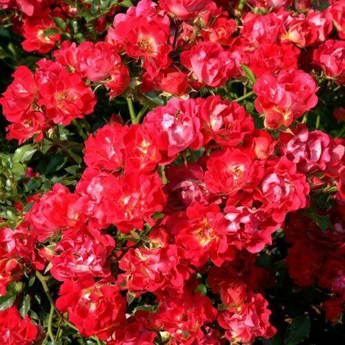 Rosa Rose - Paesaggistiche - Meilland Red Drift® - Vaso 10