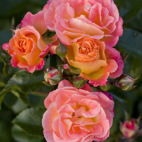 Rosa Rose - Paesaggistiche - Meilland Peach Drift® - Vaso 10