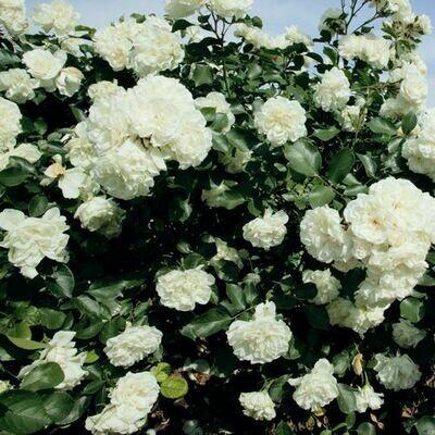 Rosa Rose - Paesaggistiche - Meilland White Meidiland® - Vaso 18