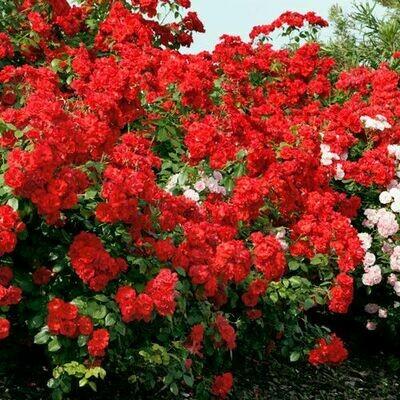 Rosa Rose - Paesaggistiche - Meilland La Sevillana® - Vaso 18