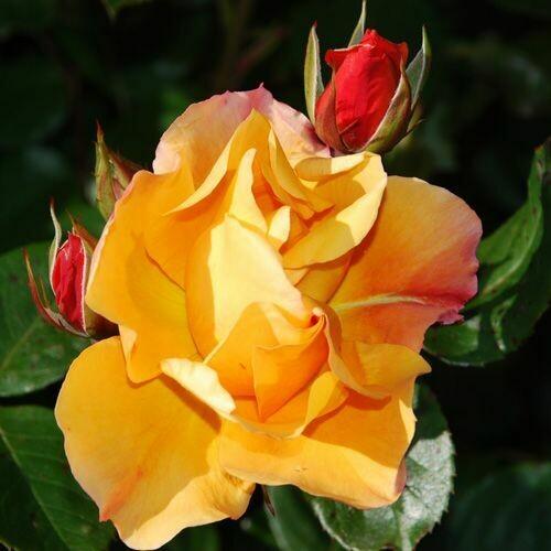 Rosa Rose - Paesaggistiche - Meilland Tequila® - Vaso 18