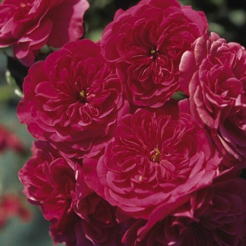 Rosa Rose - Paesaggistiche - Meilland Sangria® - Vaso 10
