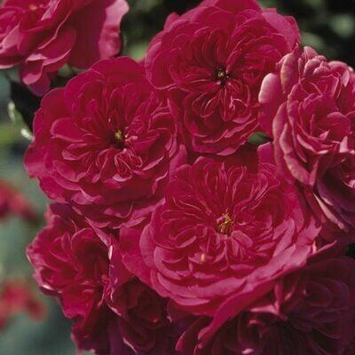 Rosa Rose - Paesaggistiche - Meilland Sangria® - Vaso 18