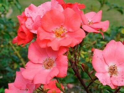 Rosa Rose - Paesaggistiche - Meilland Douceur Normande® - Vaso 18