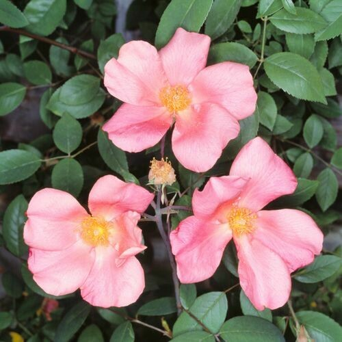 Rosa Rose - Paesaggistiche - Chinensis Mutabilis - Vaso 18