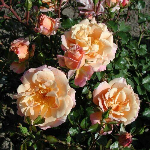 Rosa Rose - Paesaggistiche - Kordes Cubana® - Vaso 10