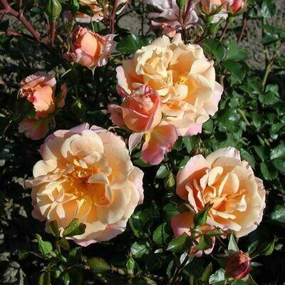 Rosa Rose - Paesaggistiche - Kordes Cubana® - Vaso 18