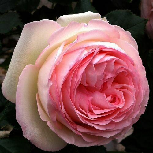 Rosa Rose - Rampicanti - Meilland Pierre De Ronsard® Gpt - Vaso 10