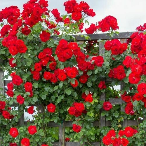 Rosa Rose - Rampicanti - Meilland La Sevillana® Gpt - Vaso 10