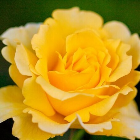 Rosa Rose - Rampicanti - Meilland Rimosa® Gpt - Vaso 10