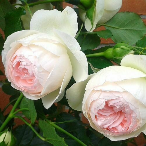 Rosa Rose - Rampicanti - Meilland Palais Royal® Gpt - Vaso 10