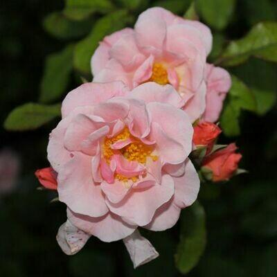 Rosa Rose - Rampicanti - Meilland Clair Matin® Gpt - Vaso 18
