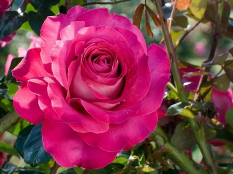 Rosa Rose - Rampicanti - Meilland Baronne Edmond de Rothschild® Gpt - Vaso 10