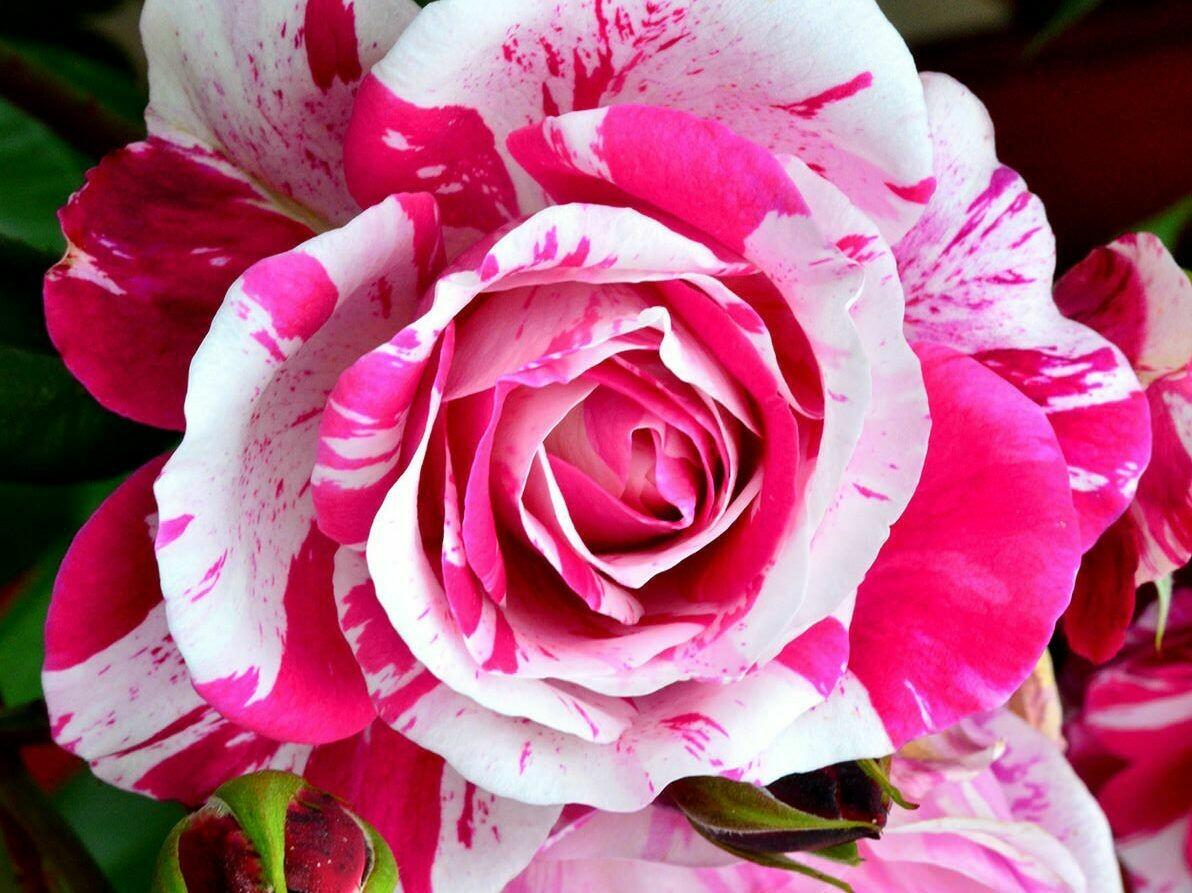 Rosa Rose - Rampicanti - Meilland Ines Sastre® Gpt - Vaso 10