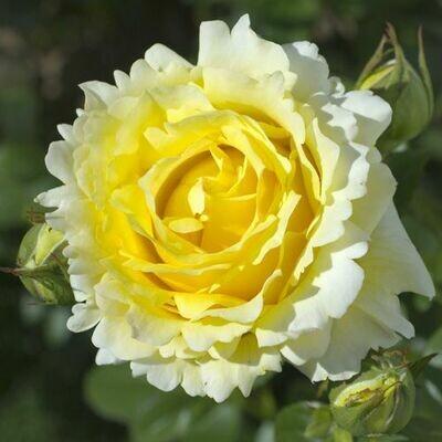 Rosa Rose - Rampicanti - Meilland Cyrano de Bergerac® Gpt - Vaso 18