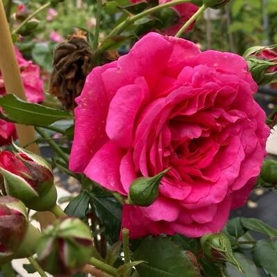 Rosa Rose - Rampicanti - Kordes Laguna - Vaso 18