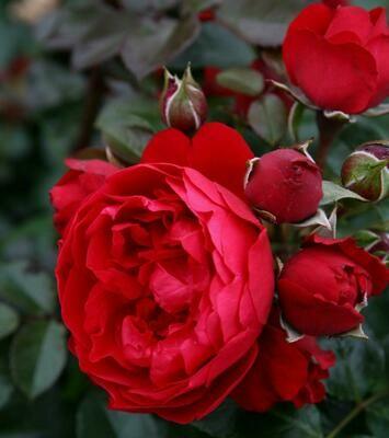 Rosa Rose - Rampicanti - Kordes Florentina - Vaso 18