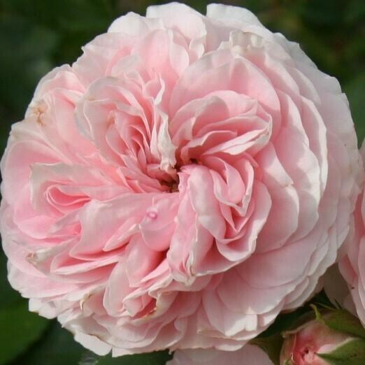 Rosa Rose - Paesaggistiche - Kordes Larissa® - Vaso 10