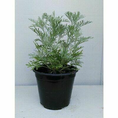 ASSENZIO - Artemisia absinthium - v14