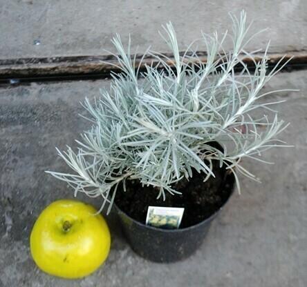 ELICRISO ITALICO - Helichrysum italicum - v14