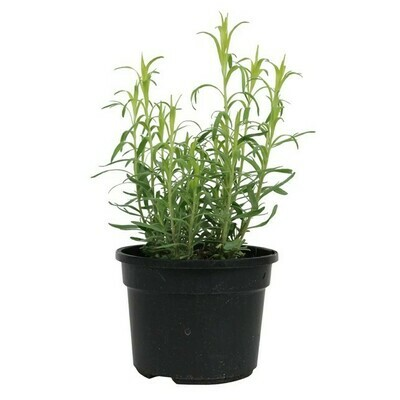 DRAGONCELLO / ESTRAGONE - Artemisia dracunculus - v14