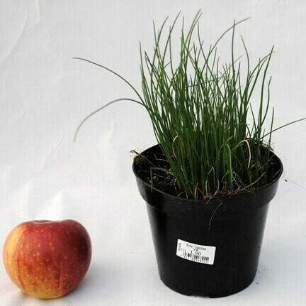 ERBA CIPOLLINA - Allium shoenoprasum - v14