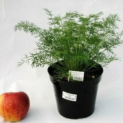 FINOCCHIO SELVATICO - Foeniculum vulgaris - v14