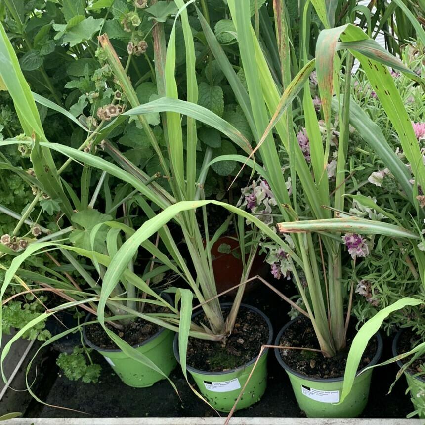 CITRONELLA/LEMON GRASS - Cymbopogon citratus - v14