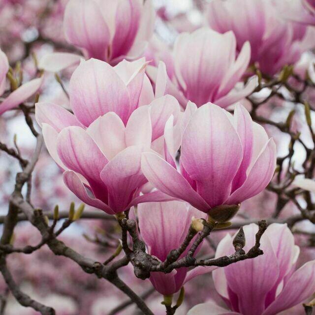 Magnolia da fiore Soulangeana v18