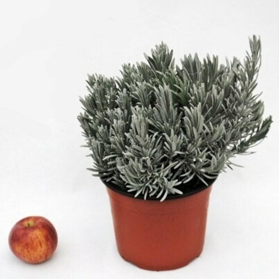 LAVANDA ANGUSTIFOLIA - Lavandula angustifolia - v18