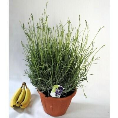 LAVANDA ANGUSTIFOLIA - Lavandula angustifolia - v24