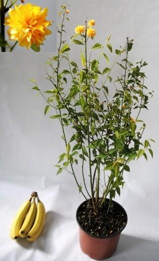 Kerria Japonica vaso 18 cm
