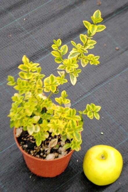 Ligustro Ovalifolia aurea ligustrum v15