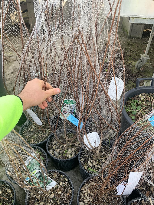 Hydrangea (ortensia) paniculata  vaso 18 cm . Ortensie che si adattano anche al SOLE