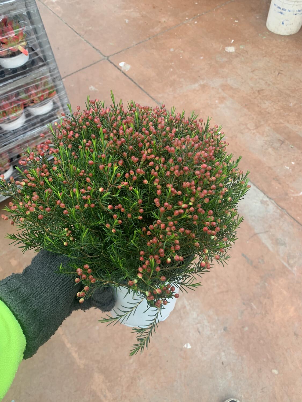 Waxflower vaso 17 cm. Fiore di cera