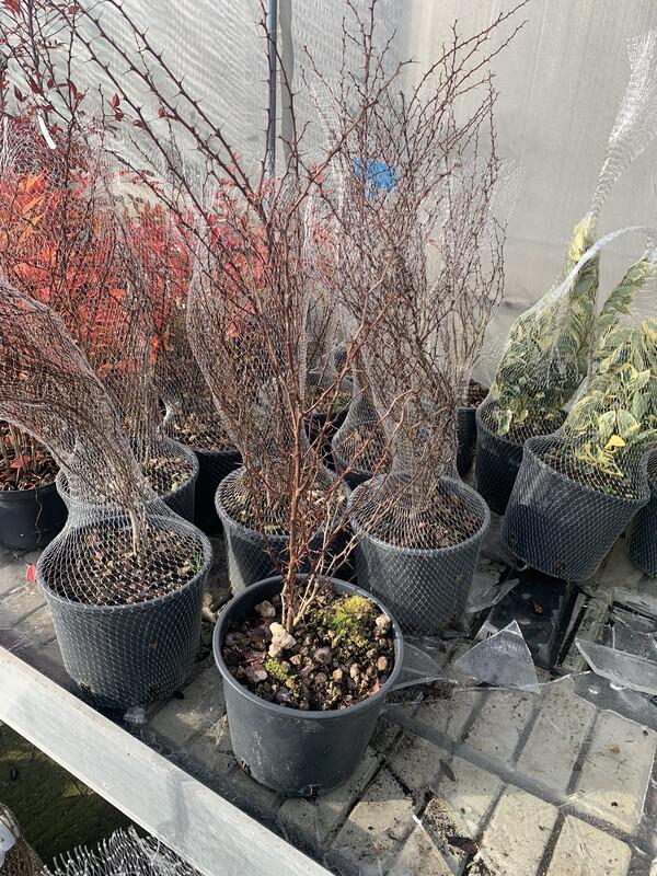 Prunus Spinosa (prugnolo) v18
