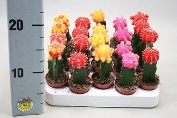 Gymnocalicium v5,5 Cactus innestato SOLO ROSSO