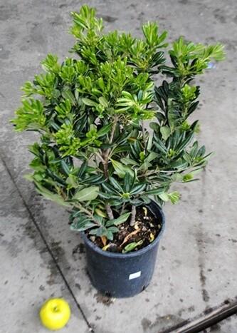 Pittosporo tobira Pittosporum vaso 24