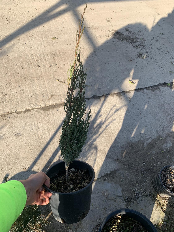 CIPRESSO TOSCANO Cupressus Sempervirens vaso 16 h 50/60