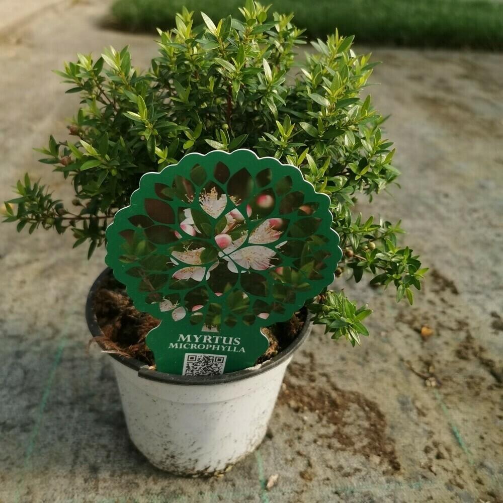 "MIRTO MICROPHYLLA - Myrtus communis ""microphylla"" - v14"