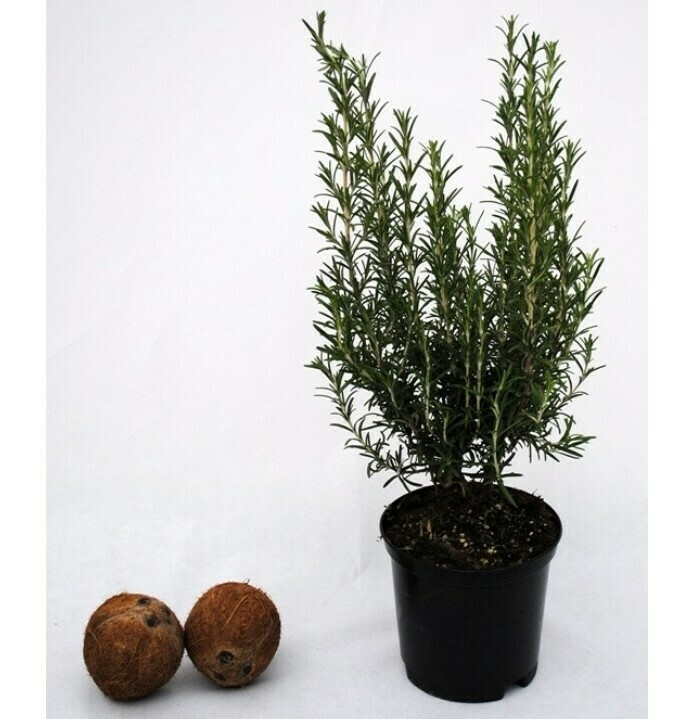 ROSMARINO OFFICINALE - Rosmarinus officinalis - v18