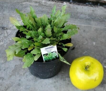 RUCOLA SELVATICA - Diplotaxis tenuifolia - v14